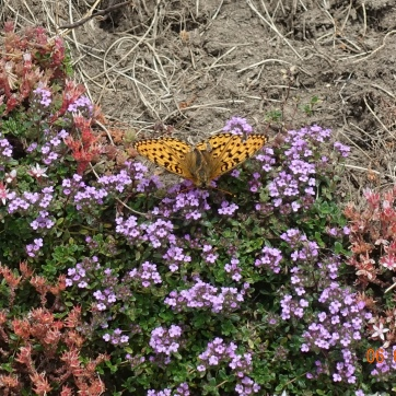 Fritillary Butterfly