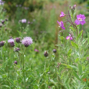 Thistle and Willowherb